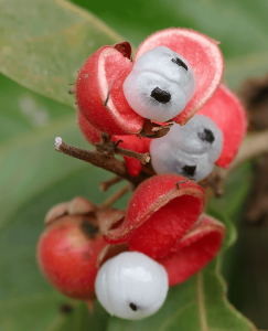 Fruits du guarana